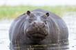 Quadro Female Hippo, Chobe, River, Botswana