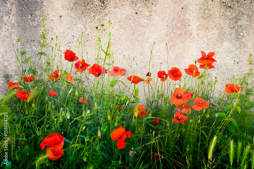 coquelicot mur fleur rouge printemps fleurir ruelle