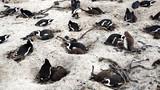 Pinguine auf der Kap-Halbinsel /Kolonie von Südafrikanischen Brillenpinguinen am Boulder's Beach in Simon's Town an der False Bay, Elterntiere mit ihren Jungen