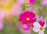 close up pink cosmos flowers blooming in the field