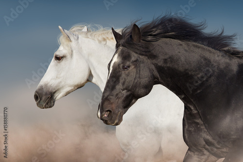 Black and white horse portrait in motion