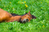 Bay horse sleep on spring green grass - 158881350