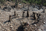 Many wild monkeys sit on the stone bank