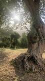Olivenbäume im Sonnenlicht