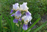 Group of white lilac irises in a summer garden