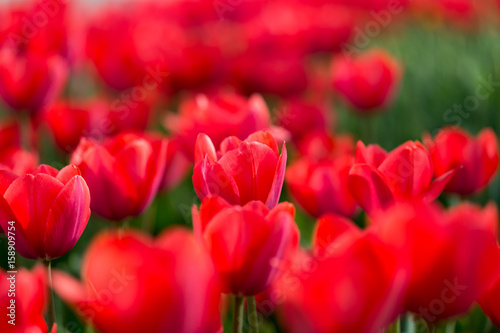 Papiers peints Rouge Beautiful red tulips in nature