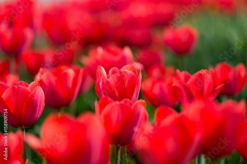 Fotobehang Rood Beautiful red tulips in nature