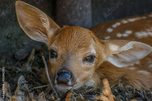 closeup of a cute fawn with white spots outdoors плакат