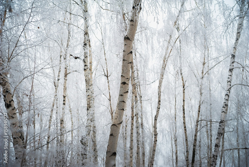Beautiful winter snow-covered forest, Saratov, Russia. Firs, birches in the snow, branches of trees and frost.
