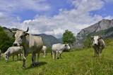 Deux vaches Ariegeoises gardes du corps