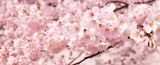 日本の春 桜の花