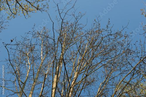 Rami di alberi spogli, texture Poster