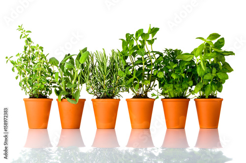 Fresh Culinary Herbs Growing in Pots on White Background