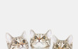 Three cute kittens are waiting to be fed. Cat faces looking up