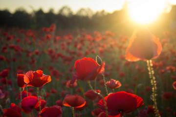 Closeup of poppy flower at sunset