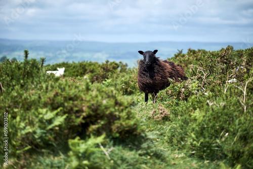 black sheep, brecon beacons National park Poster