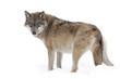 Quadro Grey wolf
