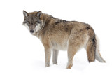 Fototapety Grey wolf