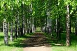 Aleja leśna