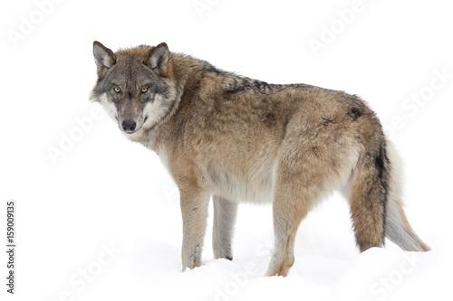 Fototapeta Grey wolf