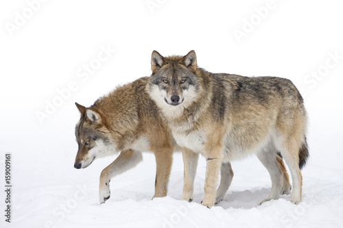 Two Grey wolves - 159009161