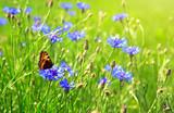 Corn flower field and butterfly.