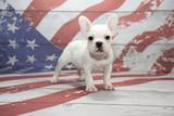 French Bulldog on American Flag background