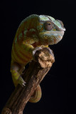 A head on close up portrait of a panther chameleon balancing on the top of a branch against a black background