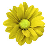 Yellow gerbera flower. White isolated background with clipping path. Closeup. no shadows. For design. Nature.