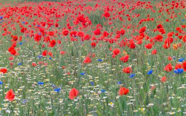 poppy field low contrast blurred vivd image
