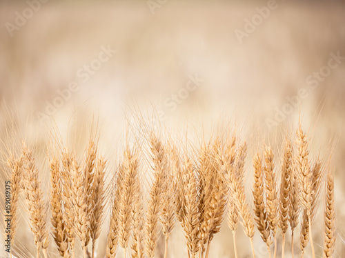 Wheat Background Poster