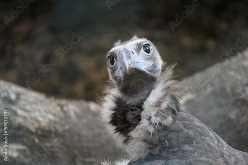Avvoltoio africano