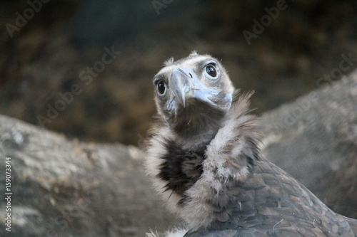 Poster Avvoltoio africano