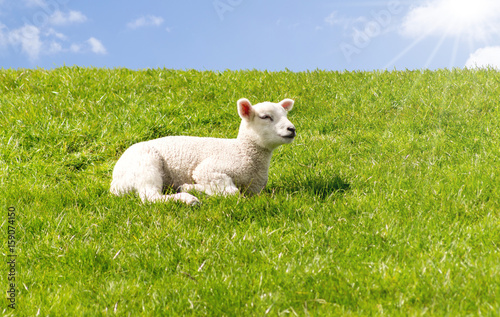 Leinwandbild Motiv Schafe, Deich, Lämmer, Dagebüll