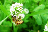 Closeup shot of bee at work on white clover flower collecting pollen