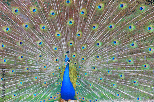 pavo real U84A5858-f17 Poster