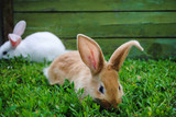 Furry little rabbit on the grass