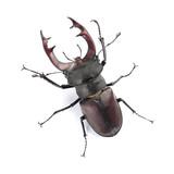 Stag beetle (Lucanus cervus) isolated on white