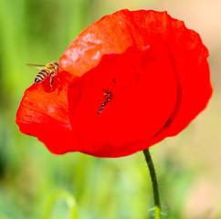 bee on a poppy flower