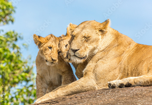 Lioness and lion cubs Poster