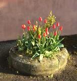 Einpflanzung mit roten Tulpen - 159109772