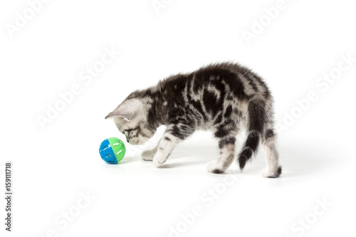 Plakát Cute silver tabby kitten playing with toy on white background isolated