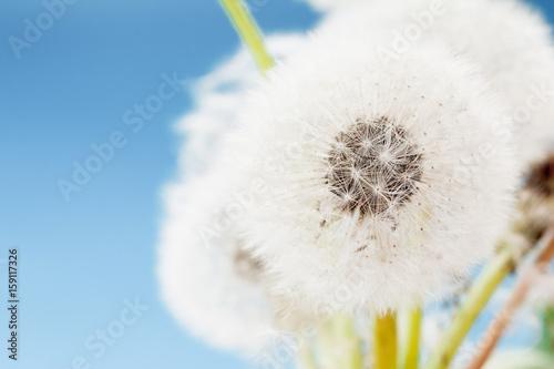 Group of dandelion on blue sky closeup, summaer or spring