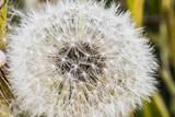 Dandelion seeds close-up