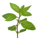 Fresh mint sprig - 159120332