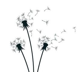 Flower of field dandelion.