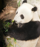 Endangered Giant Panda Eating Bamboo Stalk