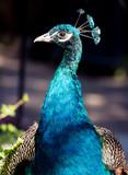 Portrait of a Proud Peacock
