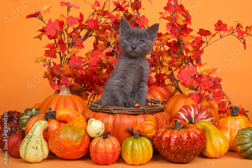 Papiers peints Orange eclat Small gray kitten standing in an orange pumpkin shaped basket surrounded by gourds pumpkins and squash with fall leaves and orange background. Fun fall harvest theme.