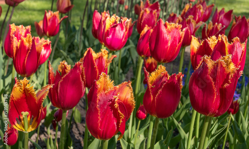 Staande foto Bordeaux Tulip. Beautiful red buds terry tulip closeup.